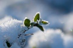Växt i snowen Arkivbild