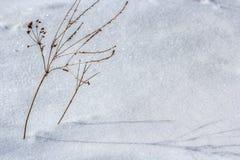 Växt i snowen Royaltyfria Bilder
