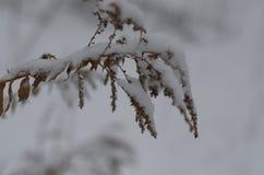 Växt i snowen Arkivfoton
