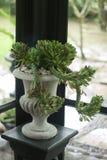Växt i stor keramisk kruka på en bakgrund av väggen Fotografering för Bildbyråer
