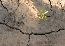 Växt i torkad sprucken gyttjaöken, växt som är torr, spricka, royaltyfria foton