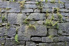 Växt i vägg Arkivbilder