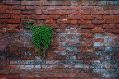 Växt i väggen Arkivbild
