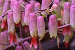 Växt- Kalanchoe blommor fotografering för bildbyråer