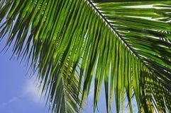 Växt - kokosnötblad Arkivbilder