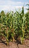 växt maizeproduktion för havre ethanol Arkivfoton