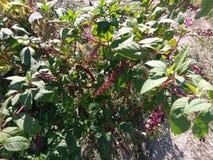 Växt med bär Arkivfoton