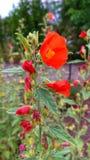 Växt med den röda blommablomningen royaltyfria foton