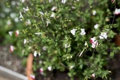Växt med gräsplansidor och små blomningar Arkivbilder