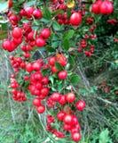 Växt med härliga röda bär royaltyfri foto