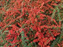Växt med härliga röda bär arkivbilder