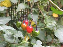 Växt med kulöra bär, i nedgången arkivfoto