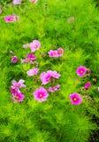 Växt med rosa blomningar Royaltyfria Bilder