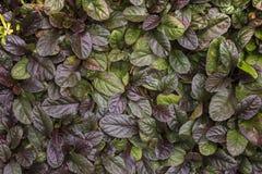 Växt med tjocka gröna sidor Royaltyfri Fotografi