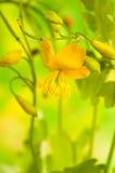 Växt- medicin: celandine royaltyfria foton