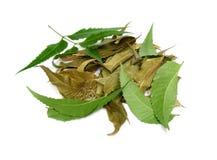 Växt- medicinska Neem sidor Arkivfoto
