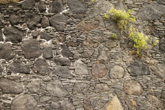 Växt på stenväggen royaltyfri foto