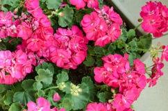 Växt Pelargonuim, i en plast- kruka, på balkongen Rosa pelar fotografering för bildbyråer