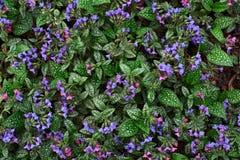Växt Pulmonaria Royaltyfri Foto