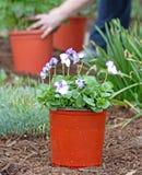 växt som förbereder sig till Royaltyfri Bild