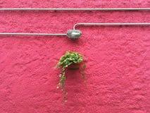 Växt som hänger mot en rosa vägg Arkivbild