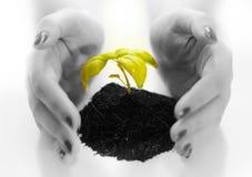 Växt som skyddas av händer royaltyfria bilder