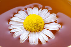 växt- tea för chamomile arkivbilder