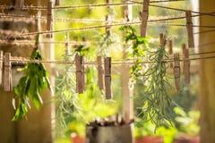 Växt- tork med örter som torkas på tvätterilinjer royaltyfri foto