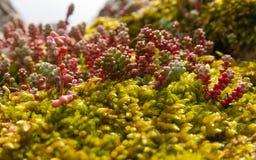 Växtart av Sedum Arkivbild
