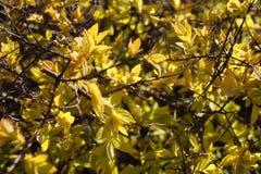 växtbakgrund växten är unga sidor för en buske på våren Royaltyfri Bild
