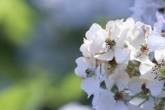 Växtblomman av den romantiska vanliga hortensian för vit blomma arkivfoto