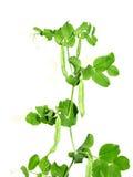 Växten är en grönsak av ärtor  Royaltyfria Bilder