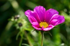 Växten asteraceaen, kosmosbipinnatusen, rosa färg blommar, stänger sig upp Royaltyfria Foton