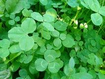 Växten av släktet Trifolium Royaltyfri Bild