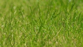 Växten för grönt gräs på regn med vatten tappar stock video