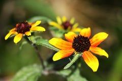 Växten för sporten för Rudbeckiatriloba` kan den röda producera upp till 100 blommor Fotografering för Bildbyråer