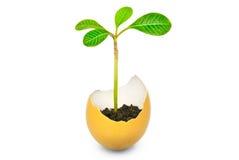 """"""", växten har mer ung fullvuxet från ett ägg"""", Arkivbild"""