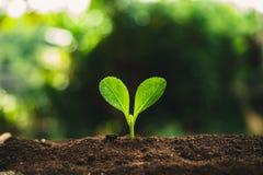 Växten kärnar ur att plantera trädtillväxt, fröt spirar på jorder för bra kvalitet i natur arkivbild