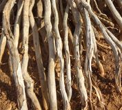 Växten rotar pik in i den förtorkade jorden royaltyfria bilder