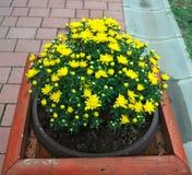 Växten som blommar med guling, blommar i kruka på gatan Arkivfoton