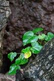 Växten som visas från, vaggar Arkivfoto