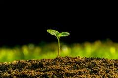 Växten spirar från jordningen royaltyfri fotografi