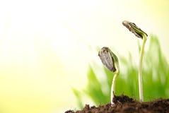 växten spirar solrosen Royaltyfria Foton