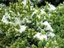 Växten täckas med vit fluffig snö Royaltyfri Fotografi