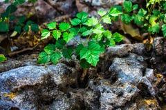 Växten växer på den torra stenen Arkivbilder