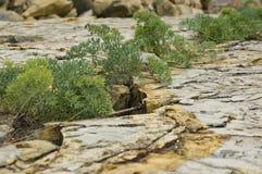 Växten växer upp på den spruckna stenen Arkivbild