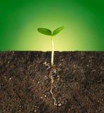 Växten vid rotar i jordningen Arkivfoton
