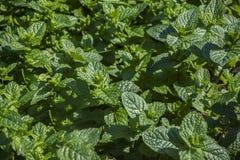 Växter av den gröna mintkaramellcloseupen Arkivbild