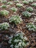 Växter av designen för lobulariamaritimaträdgård Fotografering för Bildbyråer