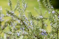 Växter av rosmarinar royaltyfria foton